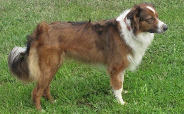 Породы собак - Английская овчарка