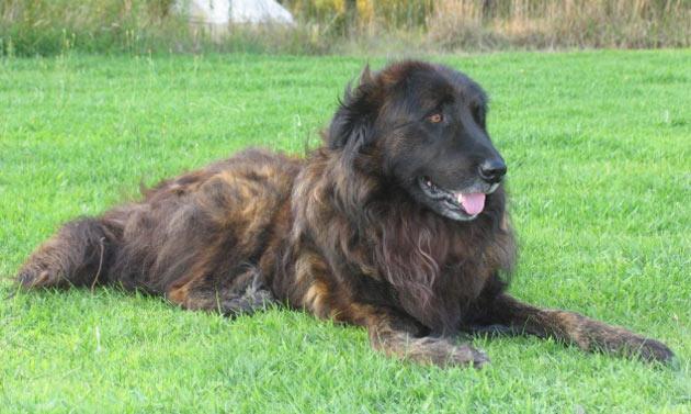 Породы собак - Эштрельская овчарка