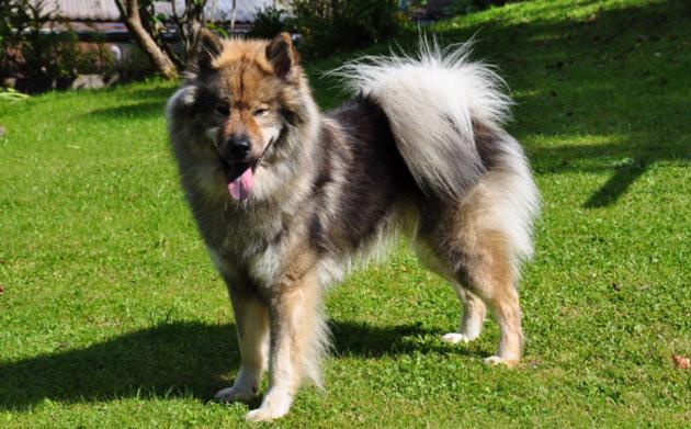 Породы собак - Евразиер