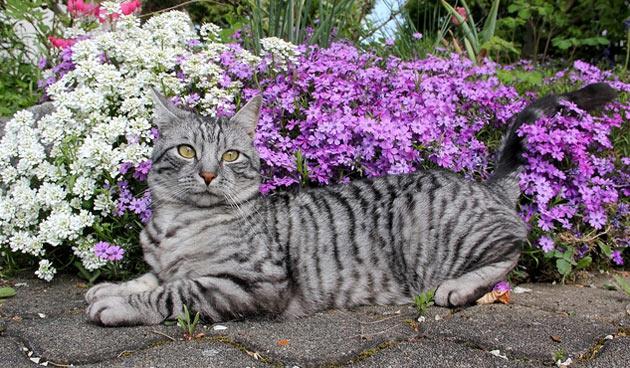 Породы кошек - Кельтская (Европейская короткошёрстная)