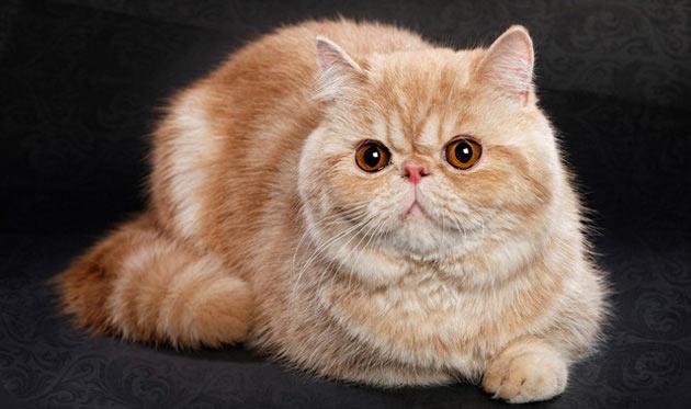 Породы кошек - Экзотическая