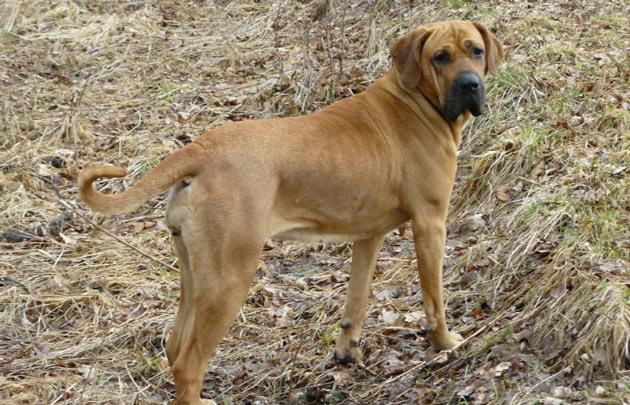 Породы собак - Бразильский фила