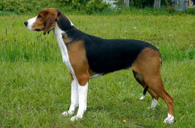 Породы собак - Финская гончая