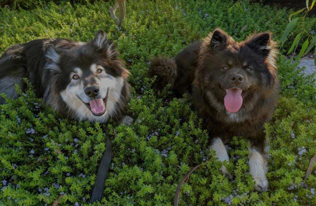 Породы собак - Финский лаппхунд