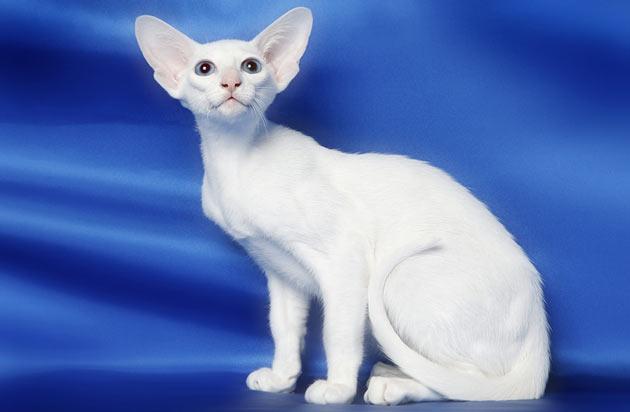 Породы кошек - Форин Вайт