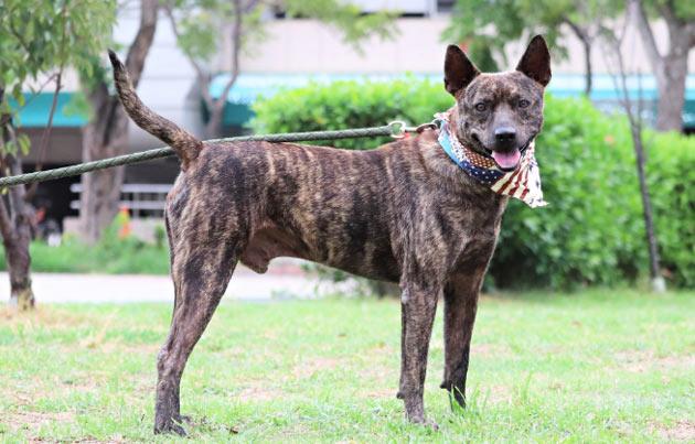 Породы собак - Тайваньская собака (формозская собака)