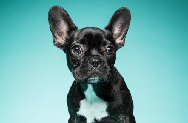 Породы собак - Французский бульдог