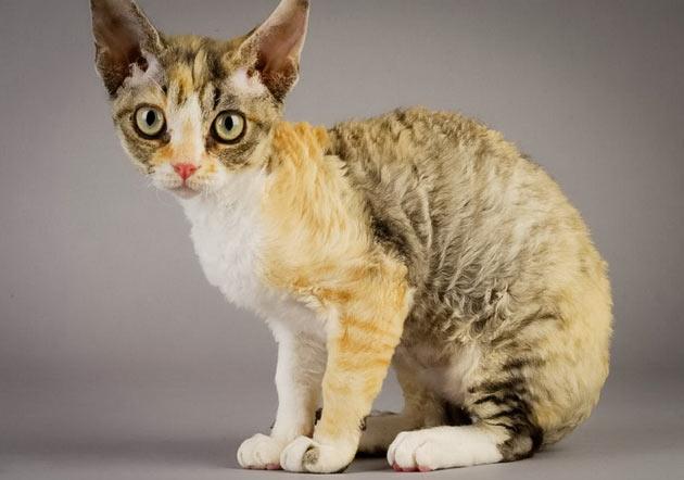Породы кошек - Немецкий рекс