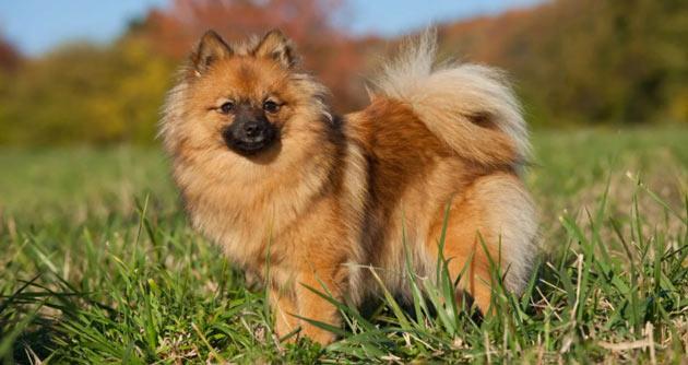 Породы собак - Немецкий шпиц
