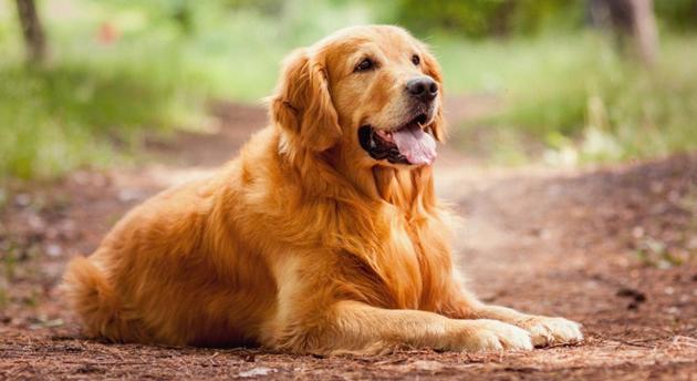 Породы собак - Золотистый ретривер