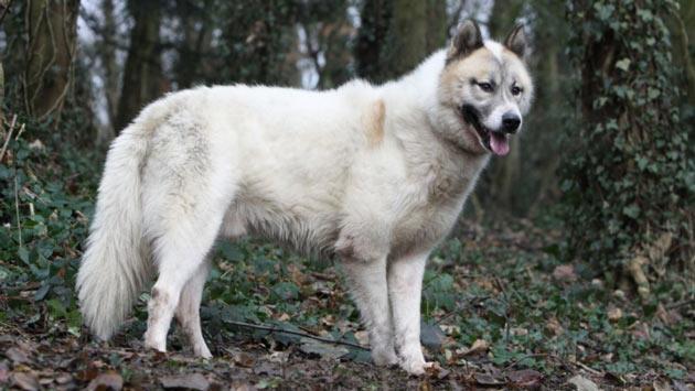 Породы собак - Гренландская собака