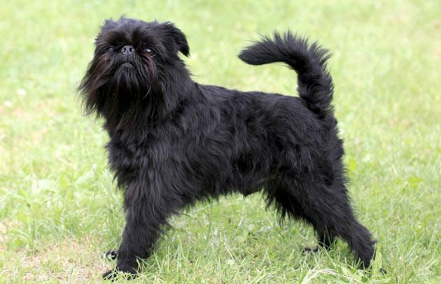 Породы собак - Бельгийский гриффон