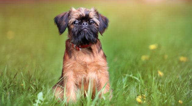 Породы собак - Брюссельский гриффон