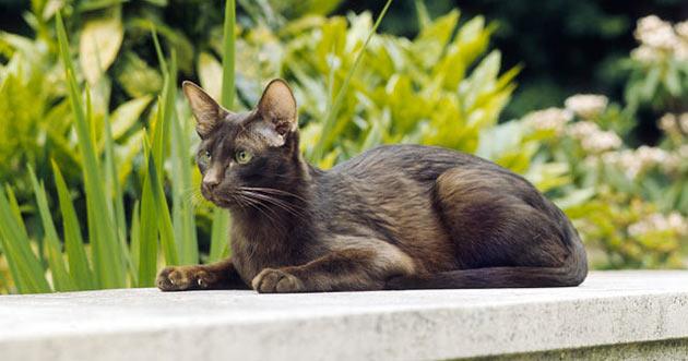 Породы кошек - Гавана