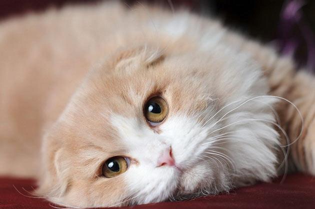 Породы кошек - Хайленд фолд