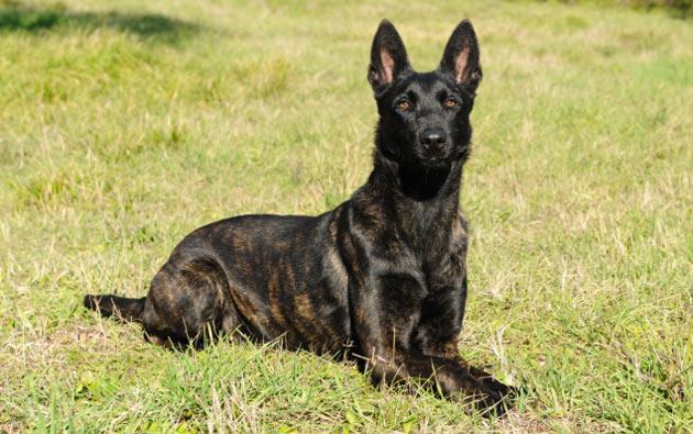 Породы собак - Голландская овчарка (хердер)