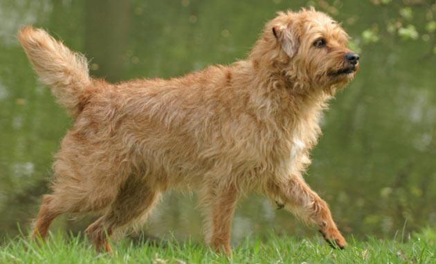 Породы собак - Голландский смаусхонд