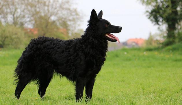Породы собак - Хорватская овчарка
