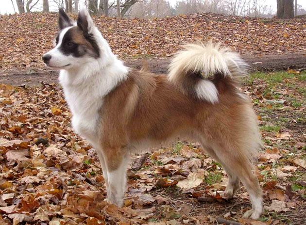 Породы собак - Исландская собака