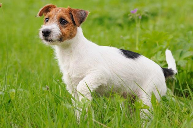 Породы собак - Джек-Рассел терьер