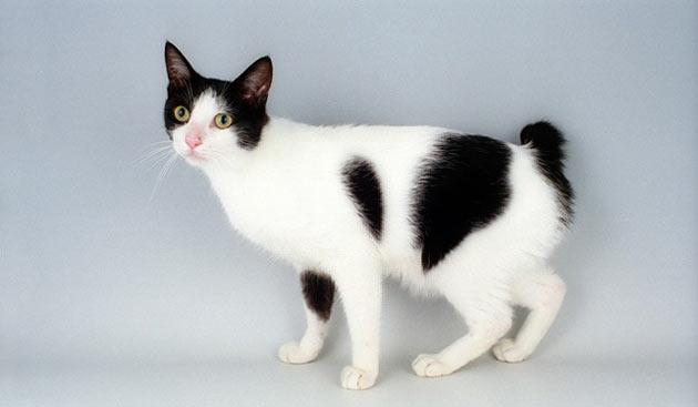 Породы кошек - Японский бобтейл