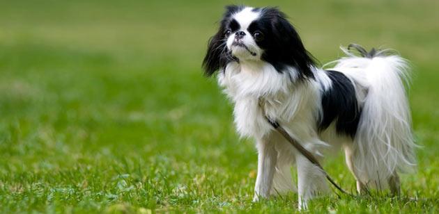 Породы собак - Японский хин