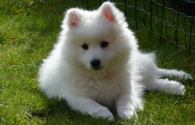 Породы собак - Японский шпиц