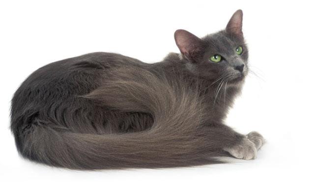 Породы кошек - Яванез (Яванская кошка)
