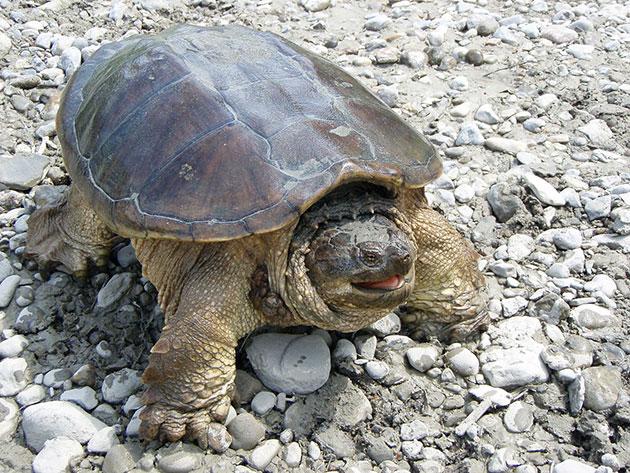 Каймановая черепаха ведёт полуводный образ жизни