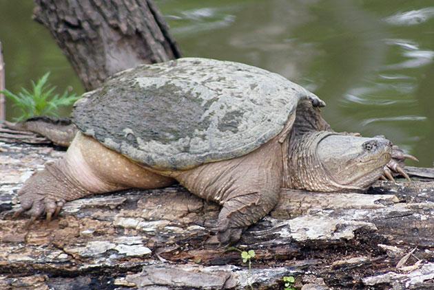 Спариваются каймановые черепахи весной
