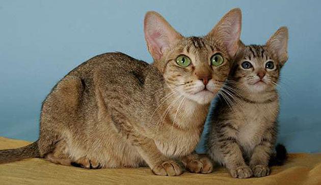 Породы кошек - Канаани