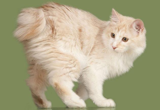 Породы кошек - Карельский бобтейл