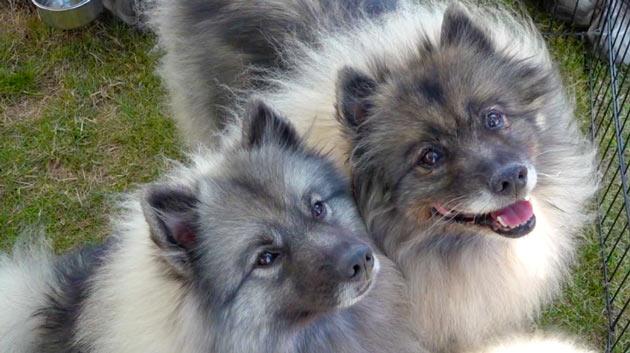 Породы собак - Вольфшпиц