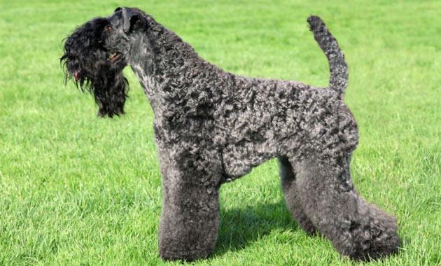 Породы собак - Керри-блю-терьер