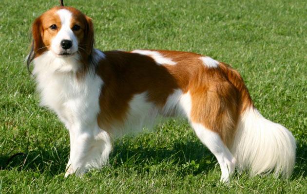Породы собак - Коикерхондье
