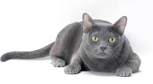 Породы кошек - Корат