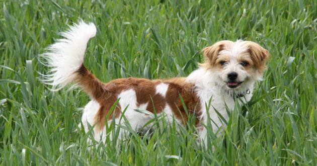 Породы собак - Кромфорлендер