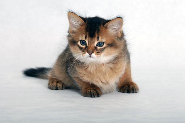 Сомалийские котята должно быть абсолютно здоровым, достаточно активным и любознательным