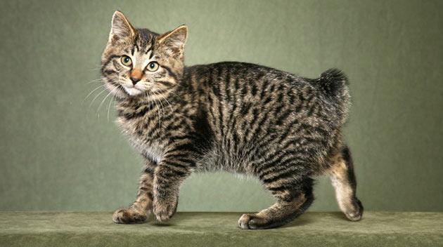 Породы кошек - Курильский бобтейл