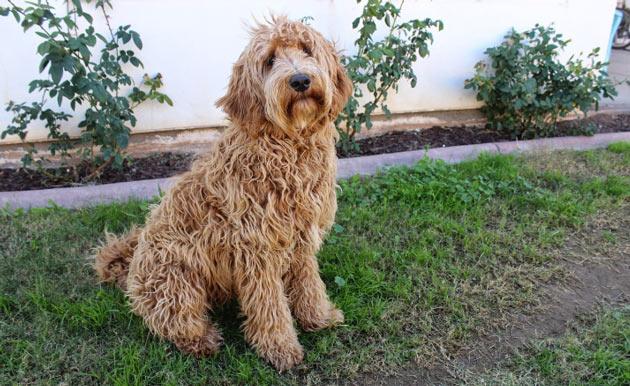 Породы собак - Лабрадудель