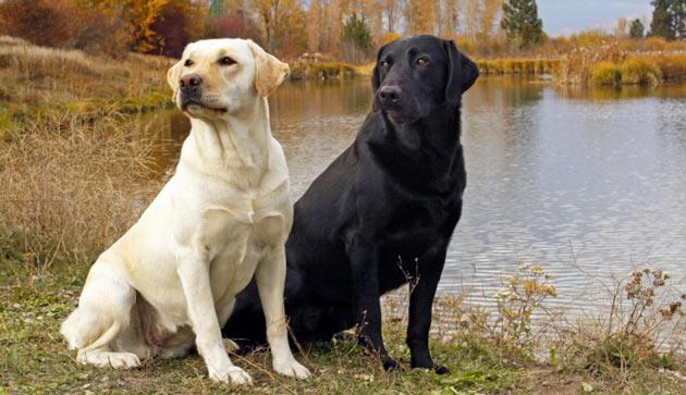 Породы собак - Лабрадор-ретривер