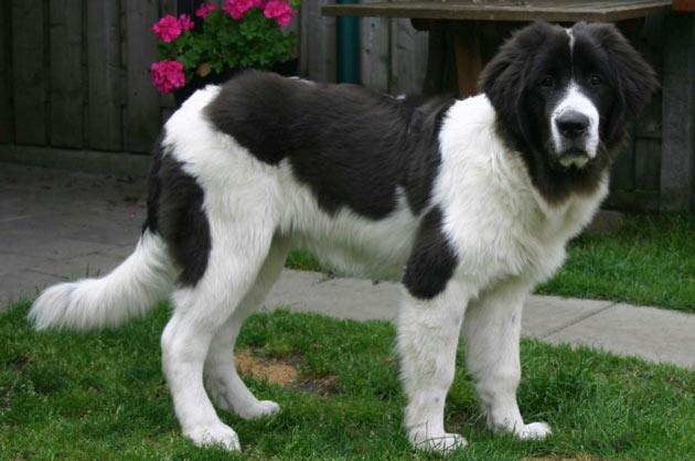 Породы собак - Ландсир