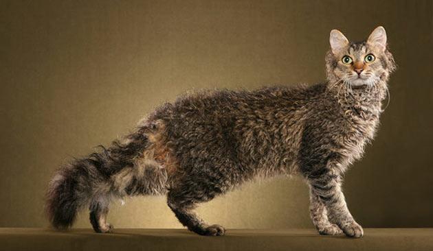 Породы кошек - Лаперм