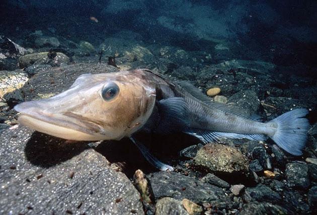 Основным врагом для ледяных рыб является человек