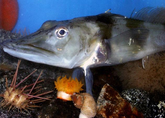 Ледяная рыба (лат. Champsocephalus gunnari)