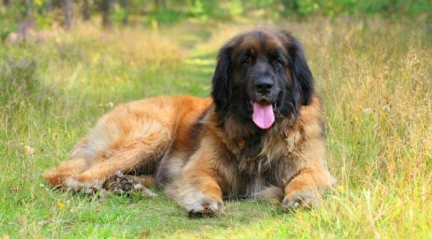 Породы собак - Леонбергер