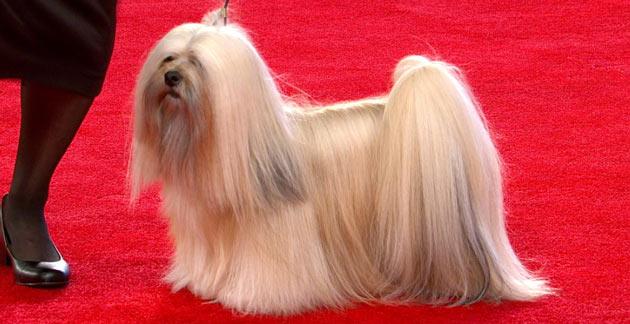 Породы собак - Лхаса Апсо