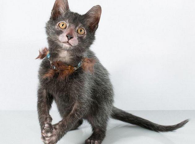 Породы кошек - Ликой