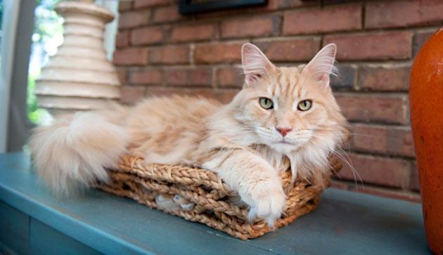 Породы кошек - Мейн-кун