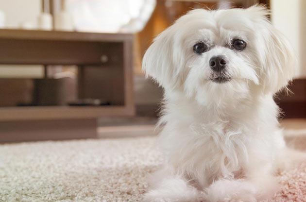 Породы собак - Мальтийская болонка